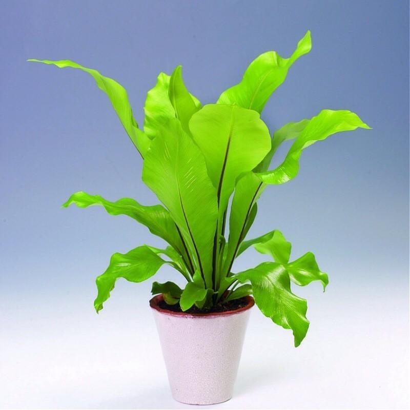 ASPLENIUM NIDUS ANTIQUUM - pianta generica