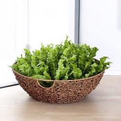 ASPLENIUM ANTIQUUM OSAKA - plant generic