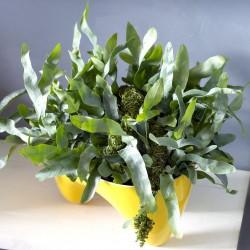 PHLEBODIUM AUREUM BLUE STAR - pianta generica