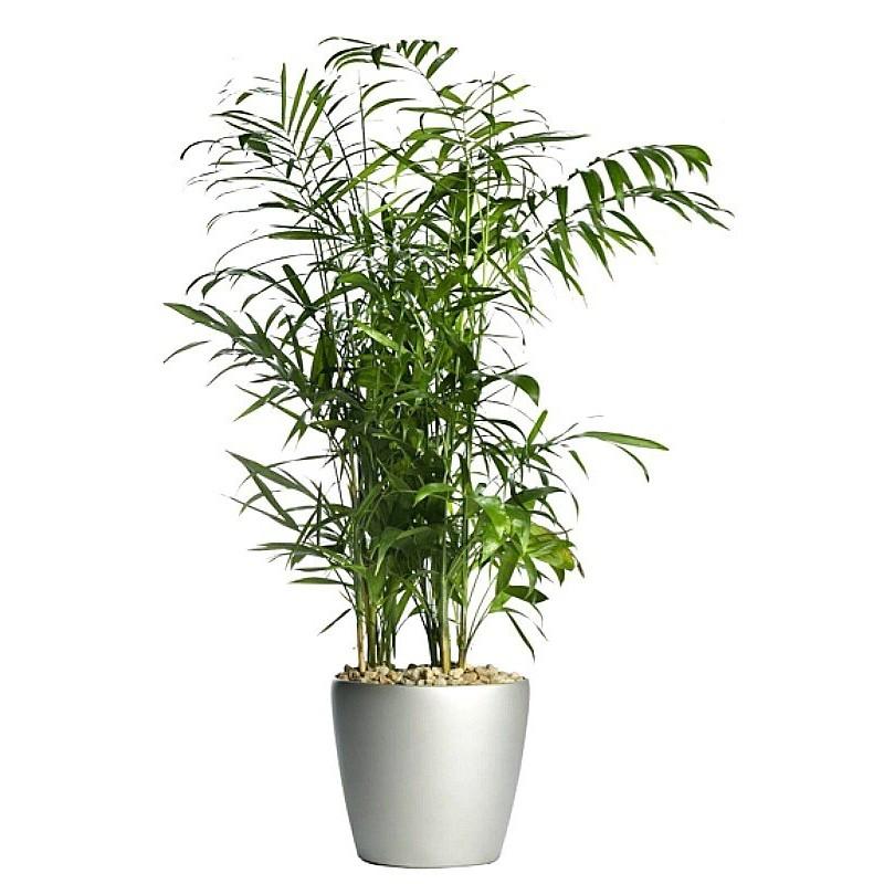 CHAMAEDOREA SEIFRIZII - plant generic