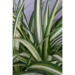 CHLOROPHYTUM COMOSUM VITTATUM - plant generic