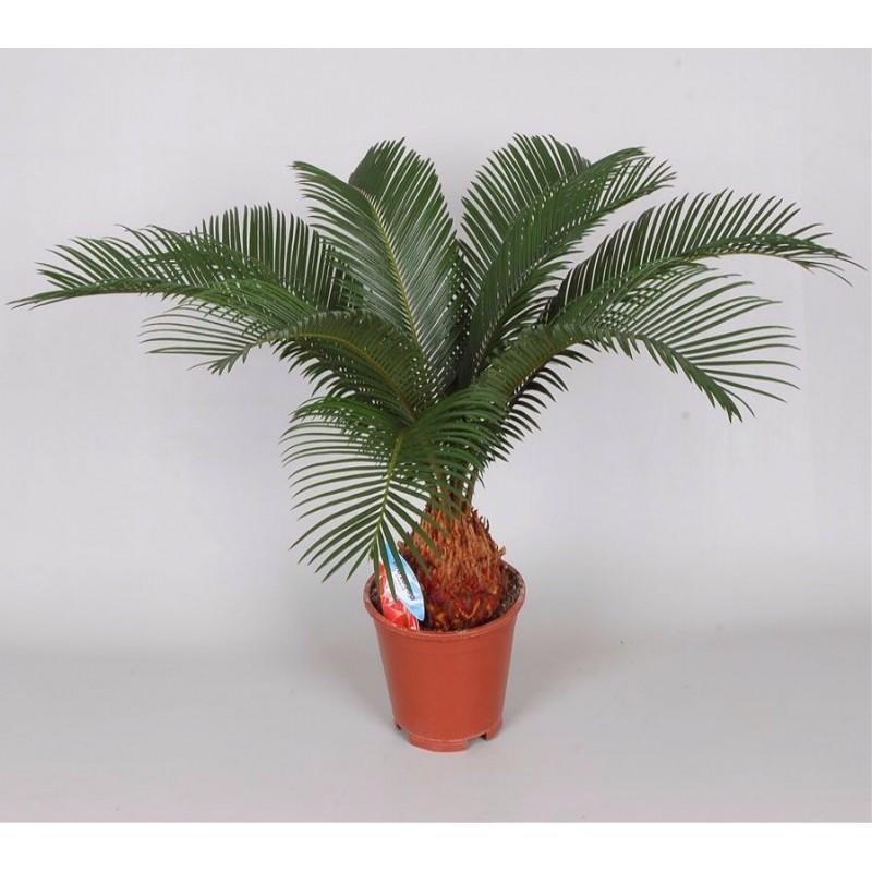 CYCAS REVOLUTA - plant generic