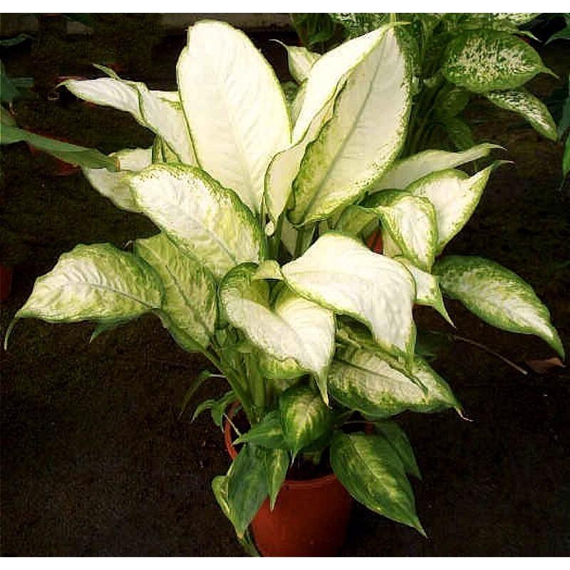 DIEFFENBACHIA AMOENA - pianta generica