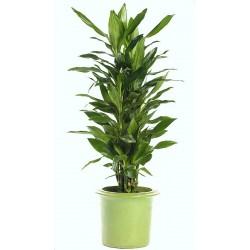 DRACAENA FRAGRANS - plant generic