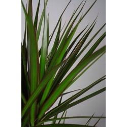 DRACAENA MARGINATA - plant generic