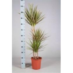 DRACAENA MARGINATA BICOLOR - plant generic