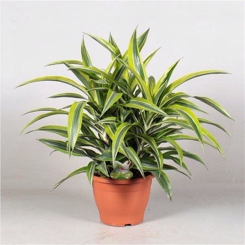 DRACAENA FRAGRANS DEREMENSIS LEMON LIME - pianta generica