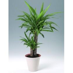 YUCCA ELEPHANTIPES - pianta generica
