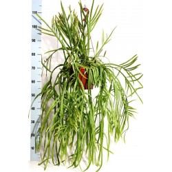 RHIPSALIS HOLVIANA - pianta generica