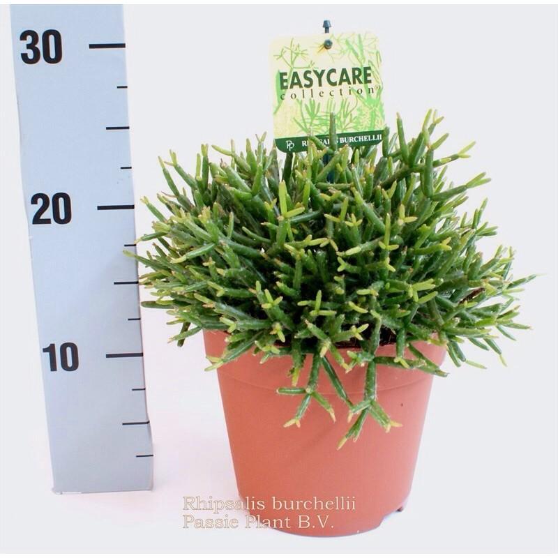 RHIPSALIS BURCHELLII - plant generic