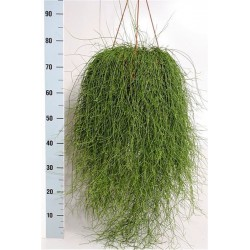RHIPSALIS CASSUTHA - pianta generica