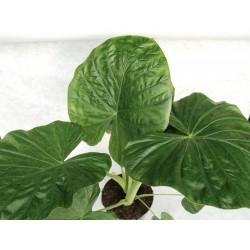 ALOCASIA CALIDORA - plant generic
