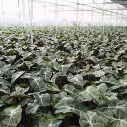 ALOCASIA POLLY - pianta generica