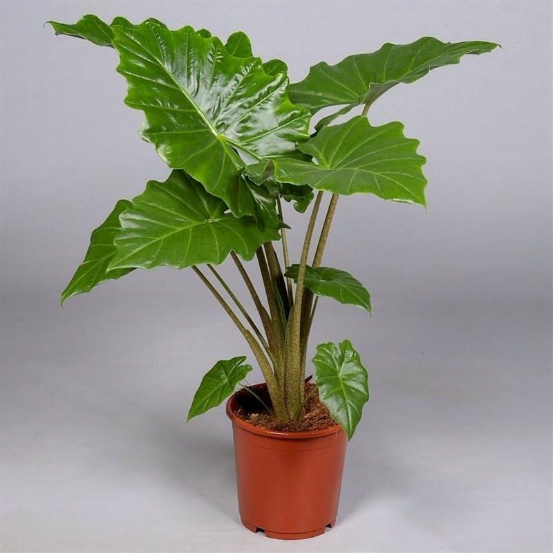 ALOCASIA POLIDORA - plant generic
