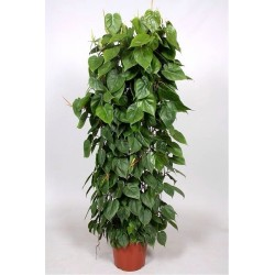 PHILODENDRON SCAND.guardian-the plant generic