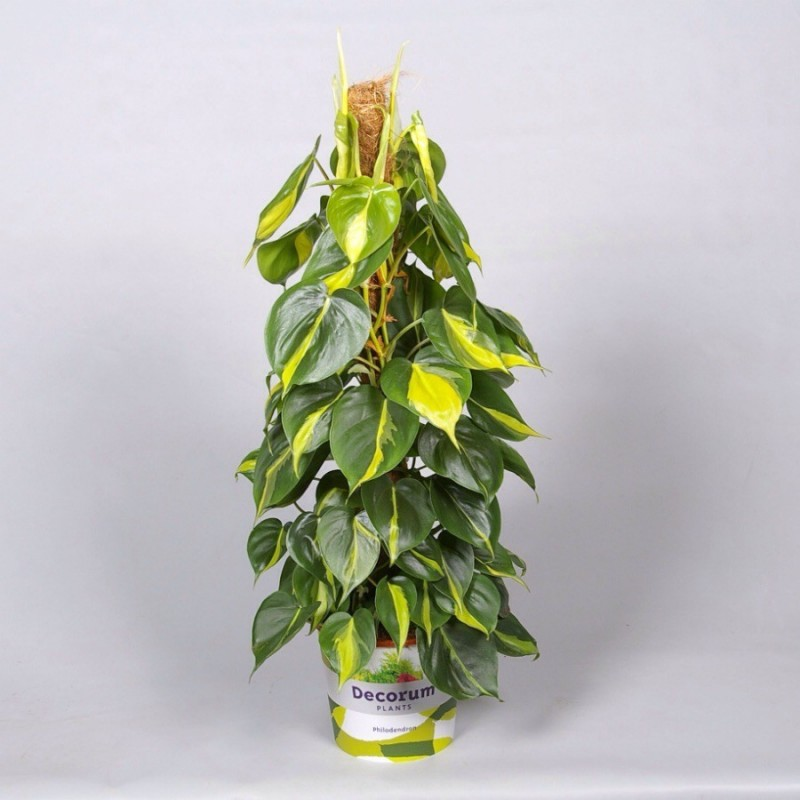 PHILODENDRON CELASTRUS BRASIL - plant generic
