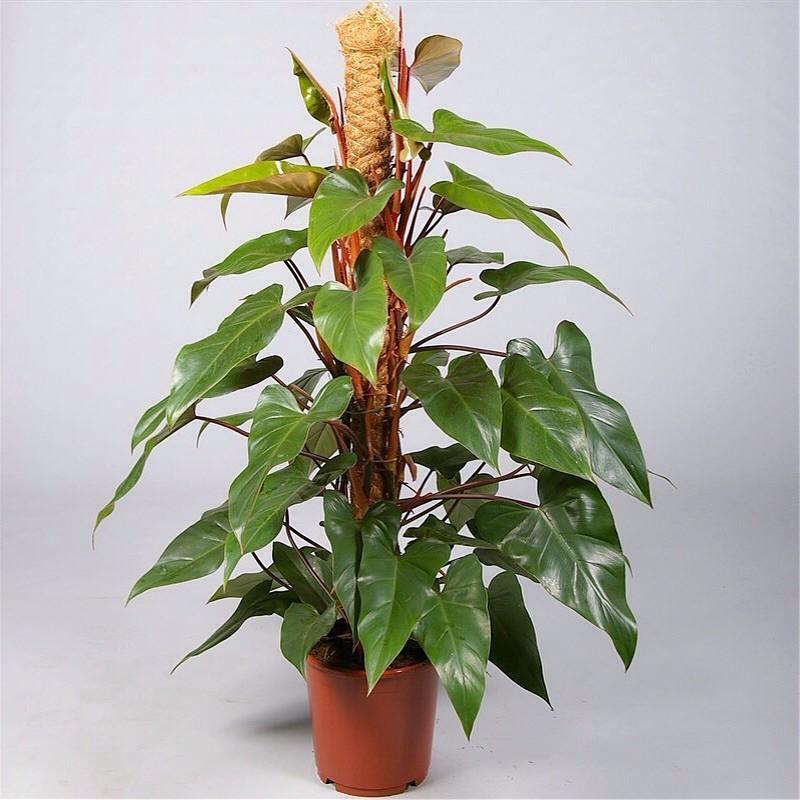 PHILODENDRON SCANDENS BRASIL - pianta generica