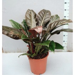 PHILODENDRON IMPERIAL RED plant generic