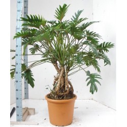 PHILODENDRON XANADU - plant generic