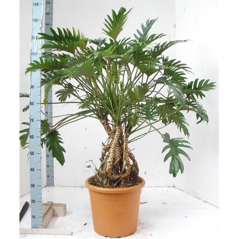 PHILODENDRON XANADU - pianta generica