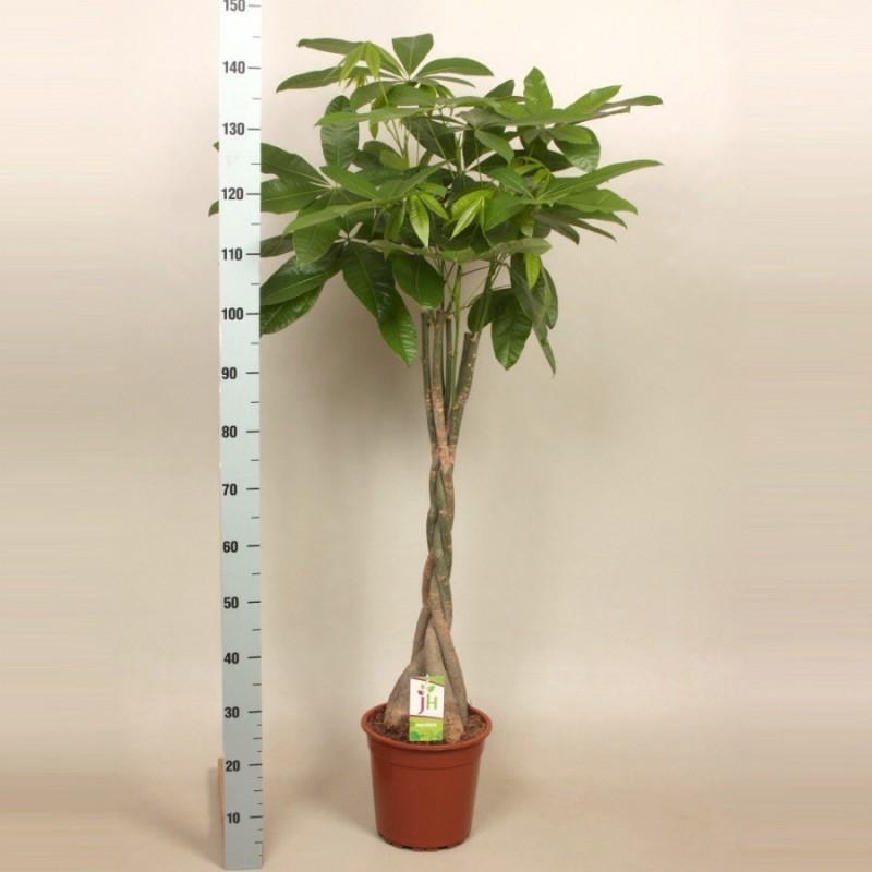 PACHIRA AQUATIC - plant generic