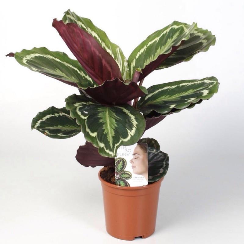 CALATHEA MEDALLION - pianta generica