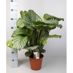 CALATHEA ORBIFOLIA - pianta generica