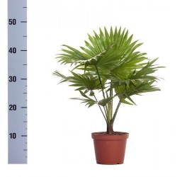 LIVISTONA ROTUNDIFOLIA - pianta generica