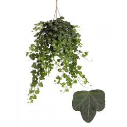 IVY-HEDERA HELIX - meaning