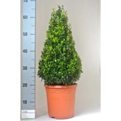 BOXWOOD BUXUS SEMPERVIRENS - plant generic