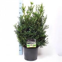 BOSSO BUXUS SEMPERVIRENS - pianta generica