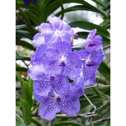 ORCHID - meaning