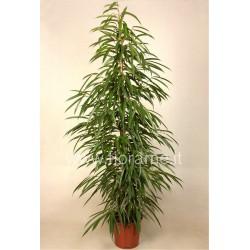 FICUS BINNENDIJKII ALII - plant generic