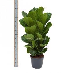 FICUS LYRATA - plant generic