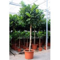FICUS LYRATA - pianta generica
