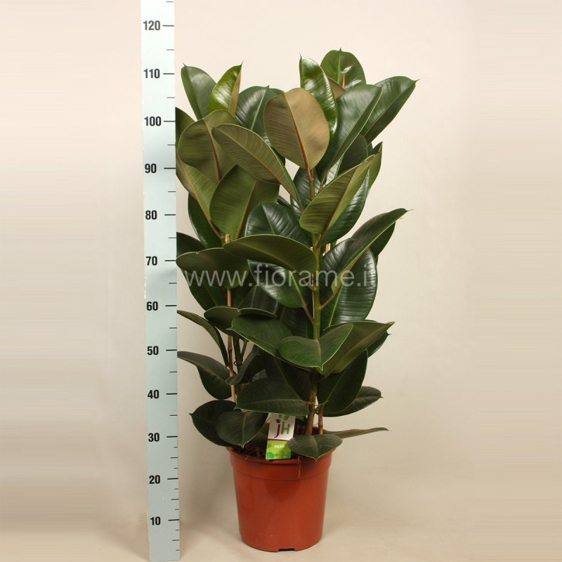 FICUS ELASTICA ROBUSTA - pianta generica