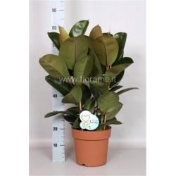 FICUS ELASTICA ROBUSTA - plant generic