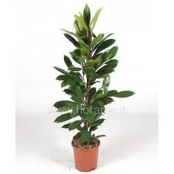 FICUS CYATHISTIPULA - plant generic