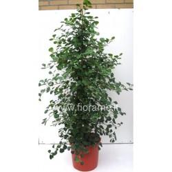 FICUS DELTOID - plant generic