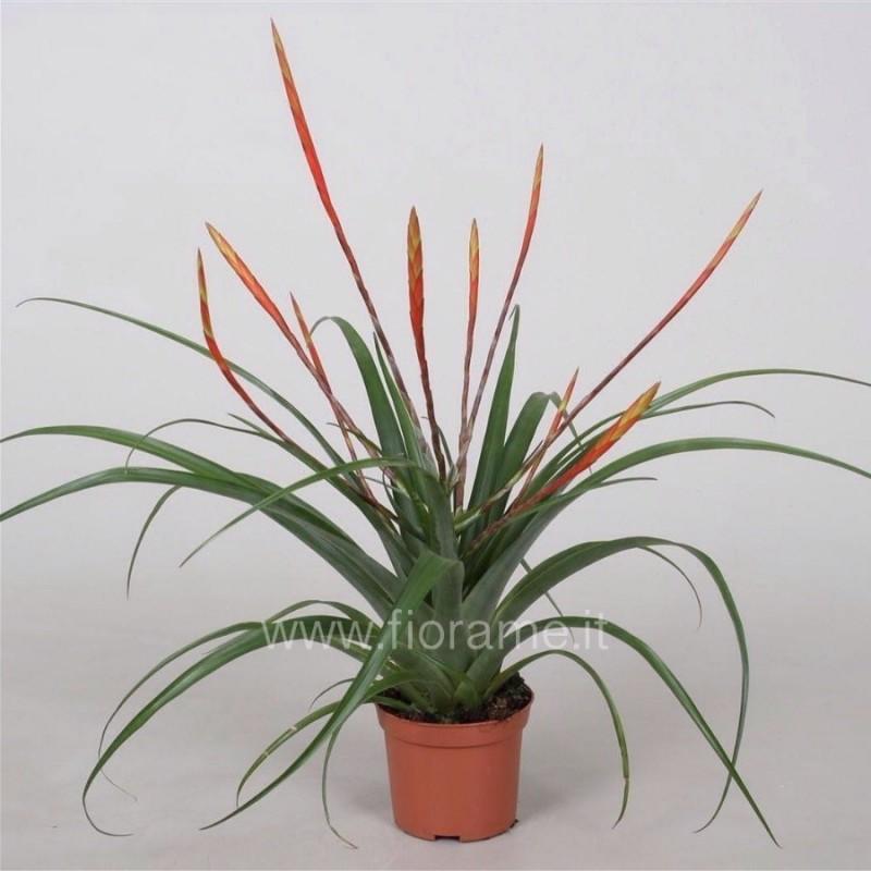 TILLANDSIA FLABELLATA - plant generic