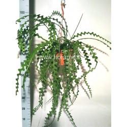 EPIPHYLLUM ANGULIGER - plant generic
