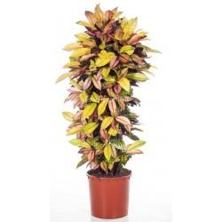 CODIAEUM VARIEGATUM MRS ICETON - plant generic