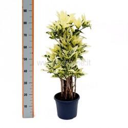 CODIAEUM VARIEGATUM TAMARA - pianta generica