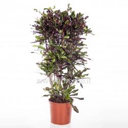 CODIAEUM VARIEGATUM TAMARA - plant generic