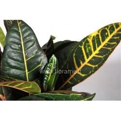 CODIAEUM VARIEGATUM PETRA - plant generic