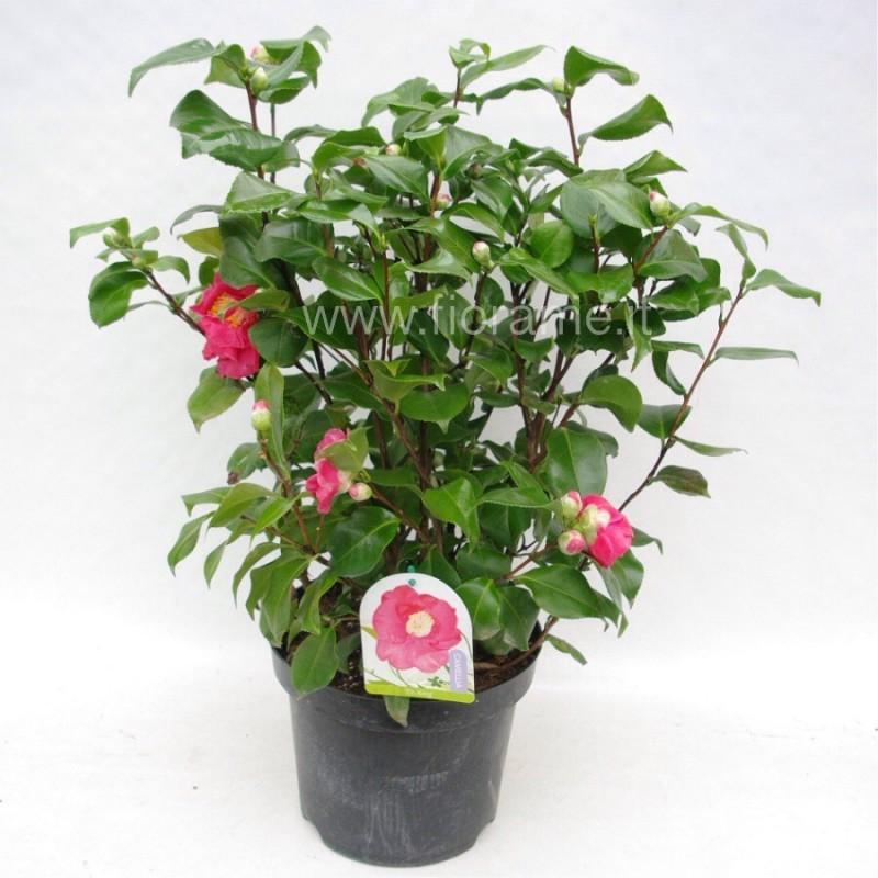 CAMELLIA JAPONICA - plant generic