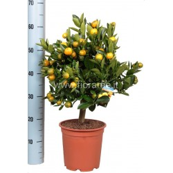 CALAMONDIN CITROFORTUNELLA MICROCARPA - pianta generica