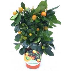 CALAMONDIN CITROFORTUNELLA MICROCARPA - plant generic