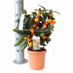 KUMQUAT CITROFORTUNELLA MICROCARPA - plant generic