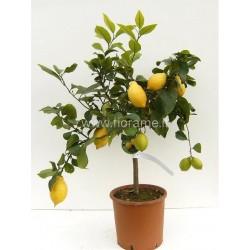 LEMON CITRUS MEYERI - plant generic